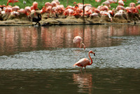 Pink flamingo - Flamand rose